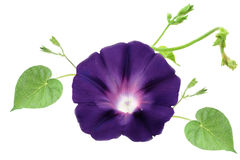 Morning Glory Stock Image