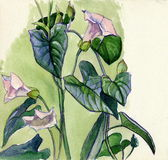 Morning-glory. Watercolor, drawing on paper royalty free illustration