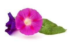 Morning Glory Royalty Free Stock Image