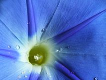 Morning Glory. Close up of a blue morning glory with dew drops Stock Image