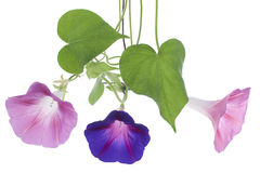 Morning glory Royalty Free Stock Images
