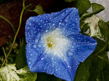 Morning glory. Blue morning glory flower after a rain shower Royalty Free Stock Images