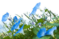 Morning glory. Stock Photos