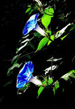Morning glory. Two blooming flowers of morning glory Stock Images