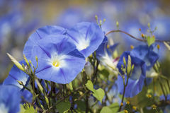 Free Morning Glory Royalty Free Stock Images - 37412759