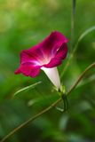 Morning glory (6) Royalty Free Stock Photography
