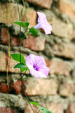 Morning glory stock photography