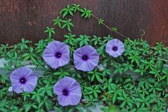 Morning glory. Beautiful morning glory over rusty door Stock Photography