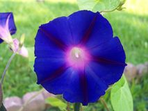 Morning Glory. Is a type of beautiful vine Royalty Free Stock Photo