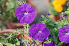 Morning glory. A beautiful blue morning glory Royalty Free Stock Images
