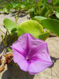 Morning glory. Beautiful nature are all around you Royalty Free Stock Image