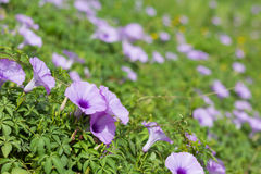 Morning glory. Beautiful wild morning glory flowers Stock Image