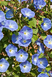 Morning Glory blooms. In a garden Stock Images