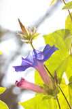 Morning Glory Blooms and Buds Royalty Free Stock Images