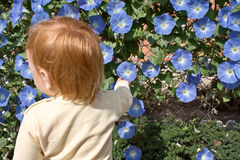 Morning Glory blooms and child. Morning Glory blooms in a garden Royalty Free Stock Image