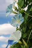Morning glory blossoms in shades of blue and white. Large `Flying Saucer` morningglory blossoms on long, tangled vines reach for the sun. Their hue rivals the Stock Photography