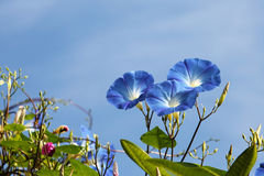 Morning glory. Blue morning glory flower in blue sky royalty free stock photo