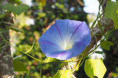 Morning glory. Blue morning glory flower in garden royalty free stock images