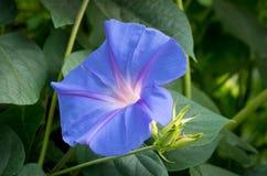 Morning Glory and Bud in Lush Foliage Royalty Free Stock Image