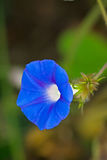 Morning glory Royalty Free Stock Photo
