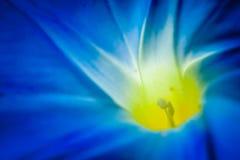 Morning Glory. Closeup image of Morning Glory flower Royalty Free Stock Photo