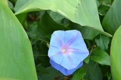 A morning glory Royalty Free Stock Photo