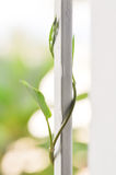 Morning glory. Crawl morning glory vegetable on the window Royalty Free Stock Photo