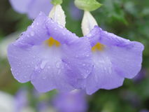 Morning Glory. Drops on the Morning Glory Royalty Free Stock Photography