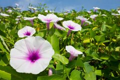 Morning glory flower. Stock Image