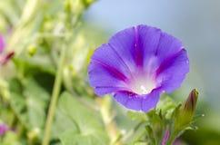 Morning glory flower Stock Images