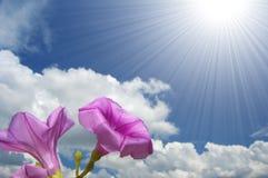 Morning glory flower. Purple morning glory flower against blue sky Royalty Free Stock Image