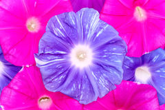 Morning glory flower background Royalty Free Stock Photos