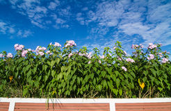 Morning glory flower behind the fence Royalty Free Stock Photo