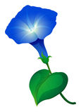 Morning glory flower in blue color. Illustration royalty free illustration