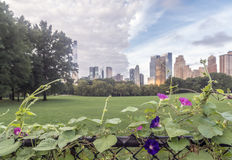 Morning Glory Flower, Central Park Royalty Free Stock Photography