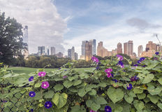 Morning Glory Flower, Central Park Royalty Free Stock Photos