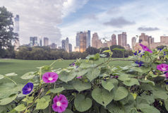 Morning Glory Flower, Central Park Stock Photography