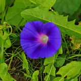 Morning glory flower Royalty Free Stock Images