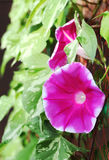 Morning glory flower Royalty Free Stock Photos