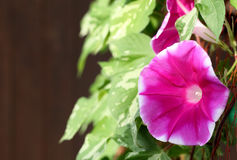 Morning glory flower Royalty Free Stock Photography