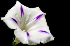 Morning glory flower Stock Image