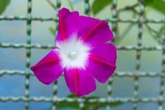 Morning glory flower Royalty Free Stock Photos