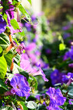 Morning Glory Flower field stock photography