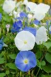 Morning glory flower Stock Photo
