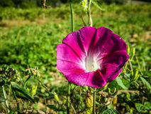 Morning glory flower Ipomoea pink in the field. royalty free stock photo