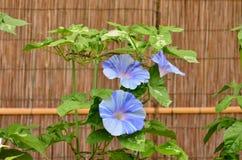 Morning glory flower, Japan Stock Photo