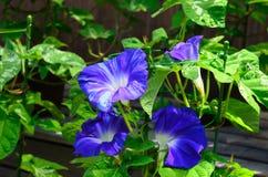 Morning glory flower, Japan Stock Image
