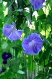 Morning glory flower Royalty Free Stock Image