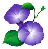 Morning glory flower in purple color Royalty Free Stock Photography