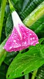 Morning glory flower. Rain dew water drops pink wild flowers plants vine Royalty Free Stock Images